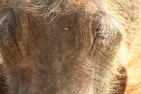 Close-up of Southern warthog (Phacochoerus africanus sundevallii) in Chobe National Park