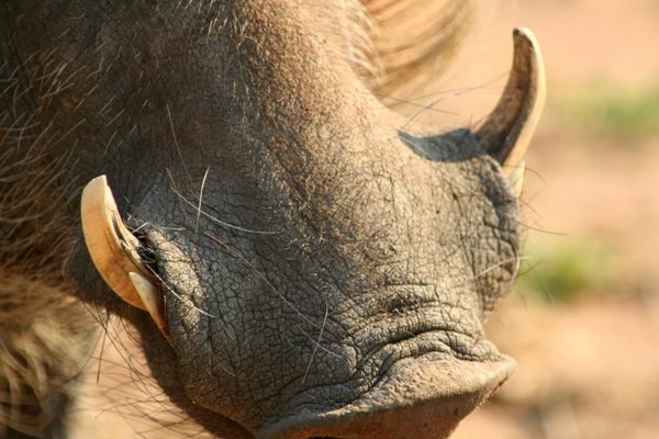 Close up of the tusks of a Southern warthog (Phacochoerus africanus sundevallii) in Chobe National Park