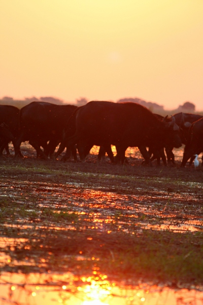 Herd of African buffalo (Syncerus caffeer) at sunset in Chobe Naitonal Park