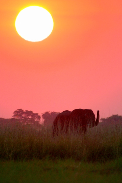 African elephant (Loxodonta africana) under the setting sun on the Chobe River