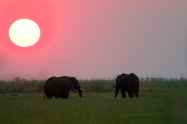African elephant (Loxodonta africana) at sunset on the Chobe River