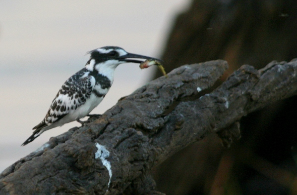 Pied Kingfisher (Ceryle rudis) with fish in Chobe National Park