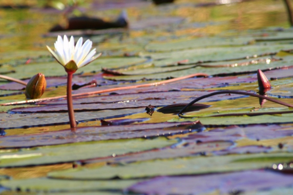 Lilies in the Chobe National Park