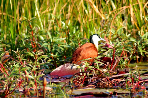 African jacana (Actophilornis africana) in the Chobe National Park