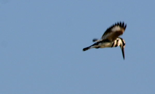 Pied Kingfisher (Ceryle rudis) searching for prey in Chobe National Park