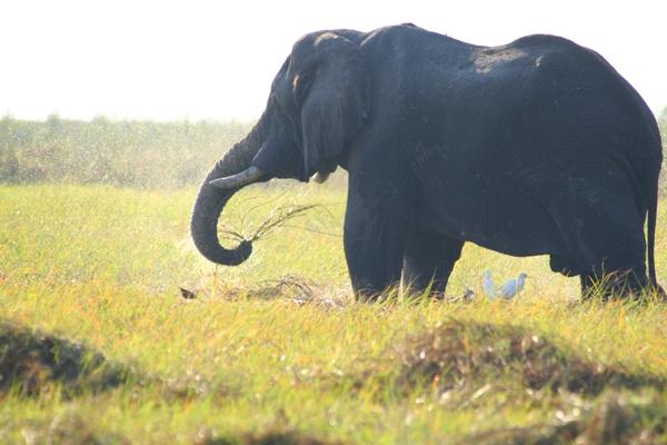 African elephant (Loxodonta africana) swinging grass in Chobe National Park