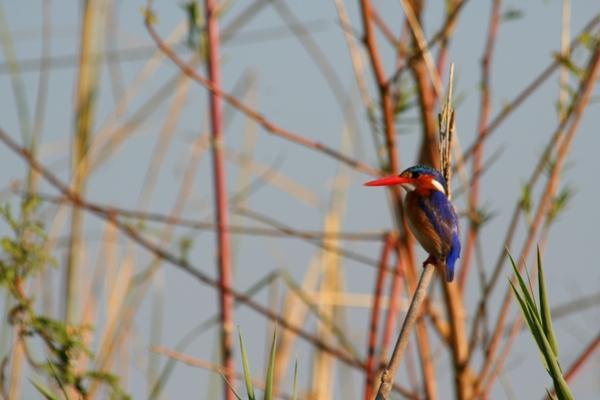 Malachite kingfisher (Alcedo cristata) in Chobe National Park