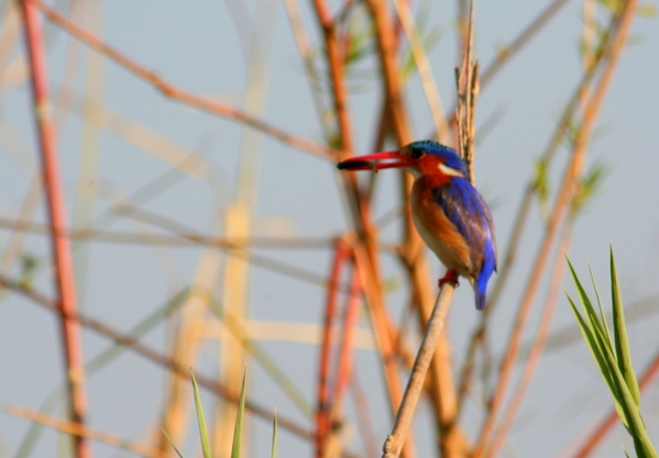 Malachite kingfisher (Alcedo cristata) with tiny fish in its mouth in Chobe National Park