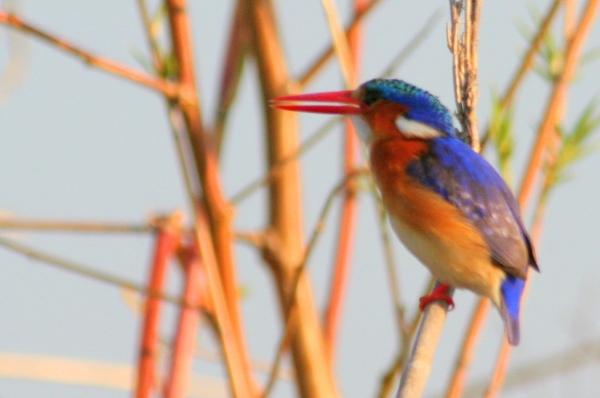 Close-up of malachite kingfisher (Alcedo cristata) in Chobe National Park