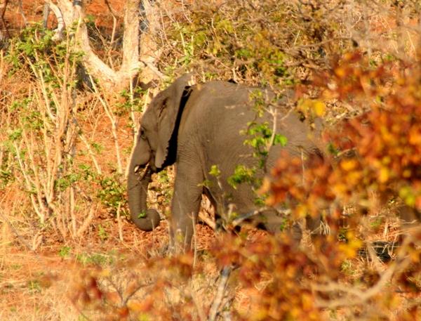 African elephant (Loxodonta africana) in Chobe National Park
