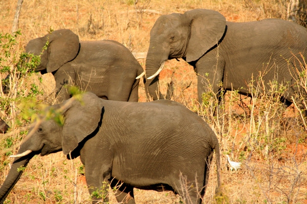 Herd of African elephants (Loxodonta africana) in Chobe National Park