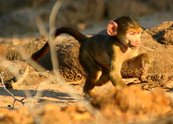 Infant Chacma Baboon (Papio ursinus) in Chobe National Park