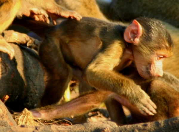 Close-up of infant Chacma Baboon (Papio ursinus) in Chobe National Park
