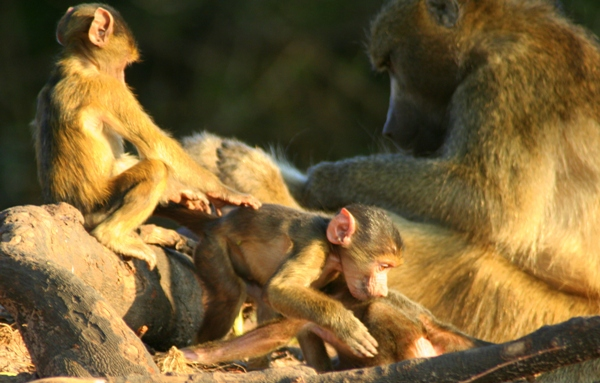 Family of Chacma Baboons (Papio ursinus) in Chobe National Park