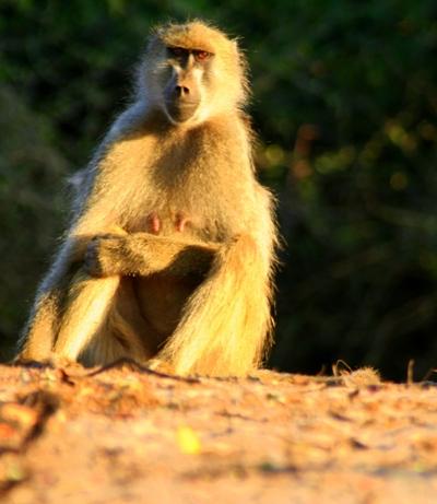 Chacma Baboon (Papio ursinus) in Chobe National Park