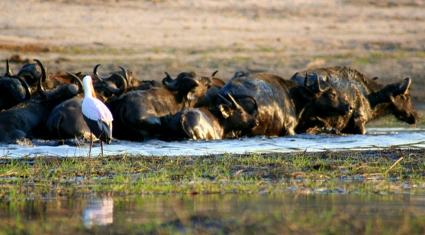 Herd of African buffalo (Syncerus caffeer) fording river in Chobe Naitonal Park