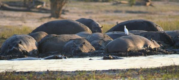 Herd of hippos (Hippopotamus amphibius) wallowing in Chobe National Park
