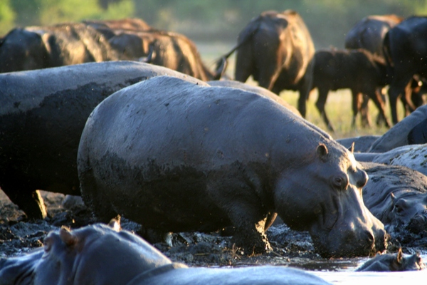 Herd of hippos (Hippopotamus amphibius) with African buffalo (Syncerus caffeer) in the background at Chobe National Park