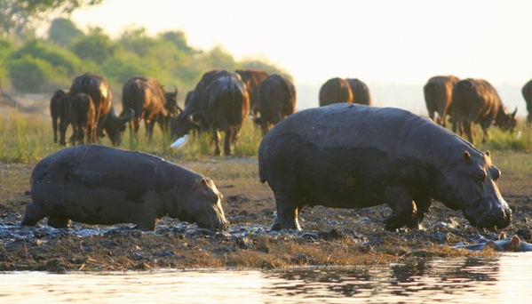 Hippo adult and juvenile (Hippopotamus amphibius) with African buffalo (Syncerus caffeer) in the background at Chobe National Park