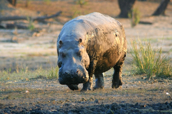 Hippo (Hippopotamus amphibius) in Chobe National Park