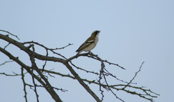 White-browed sparrow weaver (Plocepasser mahali)