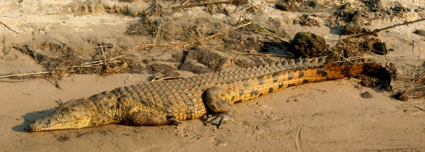 Nile crocodile (Crocodylus niloticus) on the Zambezi River