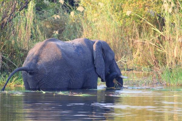 African elephant (Loxodonta africana) feeding in Zambezi River