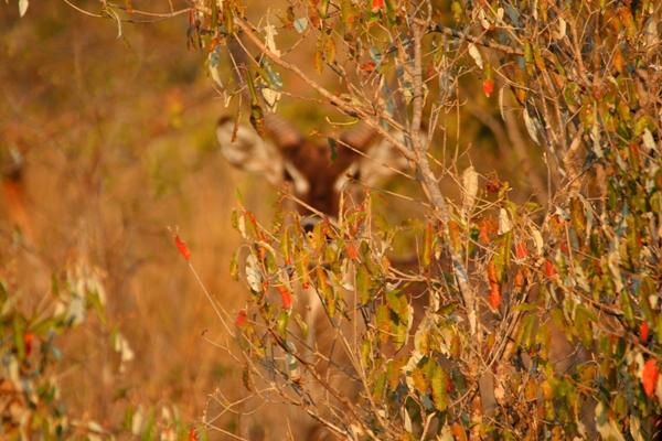 Greater Kudu (Tragelaphus strepsiceros) hiding