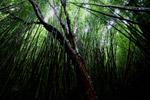 Bamboo forest in Haleakala National Park