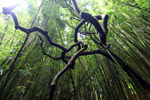 Twisted tree branches in a bamboo forest