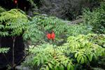 African Tulip (Spathodea campanulata)