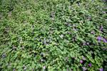 Purple ground flowers