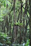 Rainforest along the Hana Highway