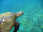 Pacific green sea turtle