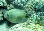 Pacific green sea turtle