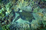Pacific green sea turtle among coral