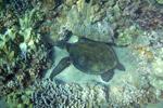 Pacific green sea turtle among coral