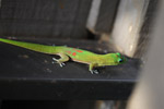 Gold dust day gecko