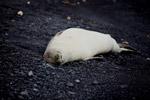 Endangered Hawaiian monk seal (Monachus schauinslandi)