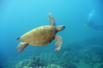 Pacific green turtle swimming off Hawaii