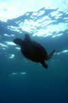 Pacific green turtle swimming off Hawaii