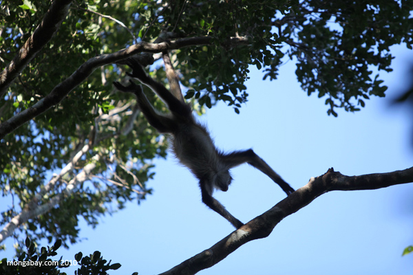Mexican Spider Monkey moving through the forest canopy