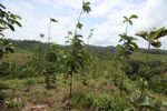 New teak plantation