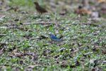 Blue tanager [panama_0030]