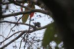 Woodpecker [panama_0033]