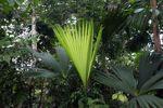 Emerging palm frond [panama_0042]
