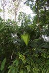 Emerging palm frond [panama_0043]