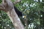 Male black howler monkey [panama_0046]