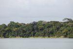 Flowering Jacaranda tree in the rainforest of Panama