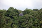 Flowering Jacaranda tree in the rainforest of Panama [panama_0079]